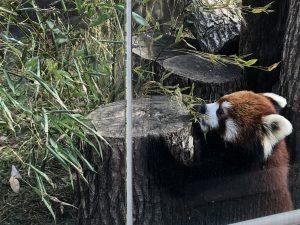天王寺動物園レッサーパンダ