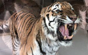 天王寺動物園アムールトラ