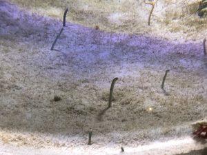 かごしま水族館 チンアナゴ