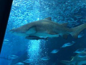 マリンワールド海の中道 サメ